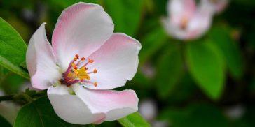 Fleur de Bach crab-apple